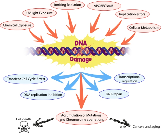 DNA damage Fig