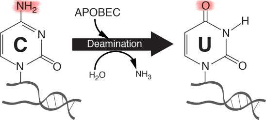 Figure APOBEC copie